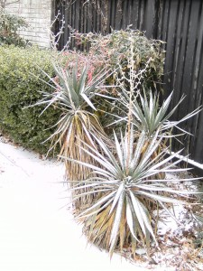 My yucca plants covered with ice and snow