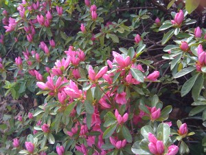 The azaleas in my front yard began budding right before Easter